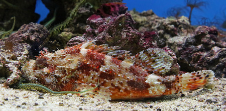 scrofa: Close-up view of a Red Scorpionfish - Scorpaena scrofa  Stock Photo