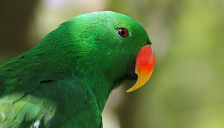 eclectus roratus: Portrait view of an adult male Eclectus Parrot  Eclectus roratus