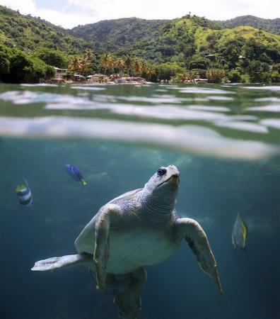 large turtle: Sea turtle in front of Castara Beach  Tobago, West Indies