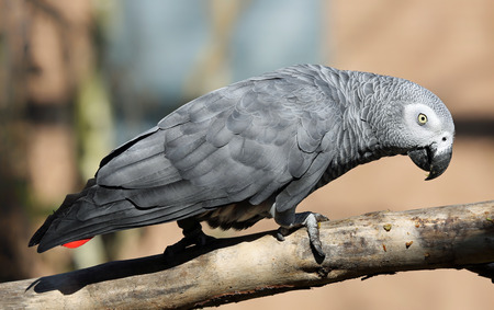 gabon: Close-up view of an African grey parrot - Psittacus erithacus