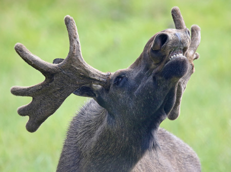 asia deer: Portrait of a roaring Moose bull (Alces alces) 02