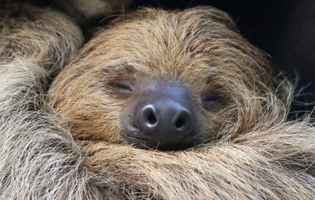 nocturnal: Close-up view of a Two-toed sloth (Choloepus didactylus)