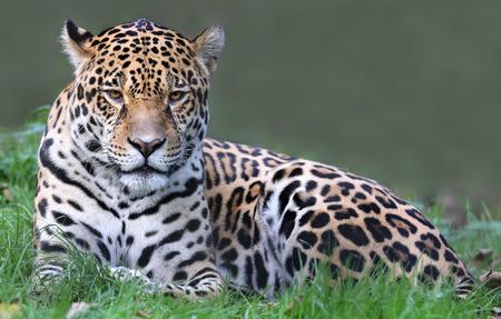 Frontal view of a Jaguar (Panthera onca)