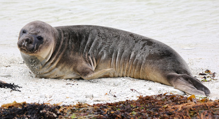 kaikoura: New Zealand sea lion at beach near Kaikoura (New Zealand)