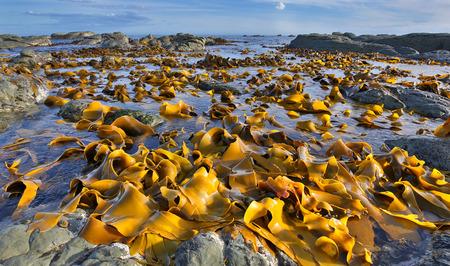 kaikoura: Kelp Bed at Low Tide - Coastline near Kaikoura, New Zealand Stock Photo