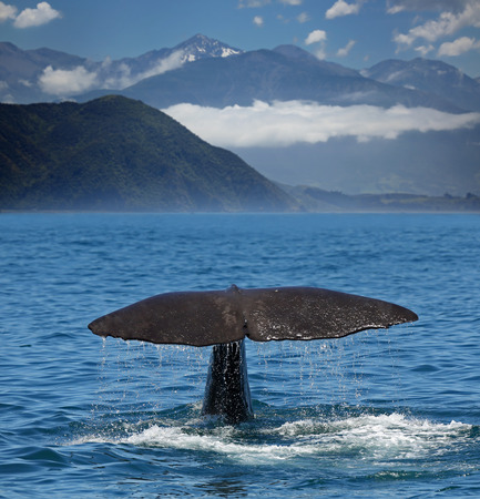 kaikoura: Fin of a Sperm whale with Kaikoura Range in background (New Zealand)