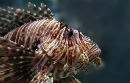 common lionfish: Portrait view of a common lionfish (Pterois miles) Stock Photo