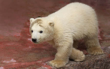 attraktion: Close-up view of a male polar bear baby (Ursus maritimus)