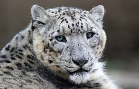 snow leopard: Close-up of a Snow leopard
