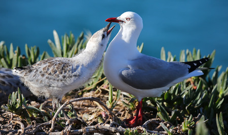 chroicocephalus: Close-up view of a Red-billed gull (Chroicocephalus scopulinus) feeding chick