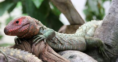 peru amazon: Closeup view of a Northern Caiman Lizard Dracaena guianensis