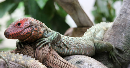 vivarium: Closeup view of a Northern Caiman Lizard Dracaena guianensis