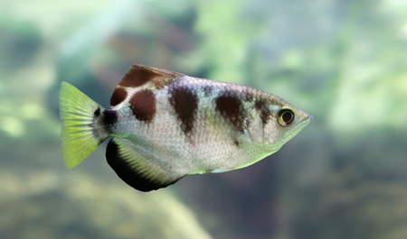 brackish water: Closeup view of a Banded Archerfish Toxotes jaculatrix