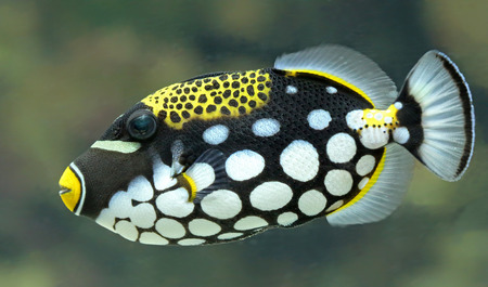 balistoides: Closeup view of a Clown triggerfish  Balistoides conspicillum