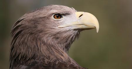 whitetailed: Close-up view of a White-tailed Eagle - Haliaeetus albicilla