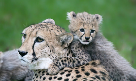 cheetah cub: Close-up view of a Cheetah cub and his mother Stock Photo
