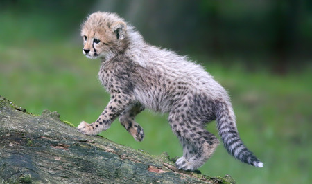 gepard: Close-up view of a climbing Cheetah cub