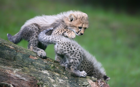 gepard: Close-up view of playing Cheetah cubs Stock Photo