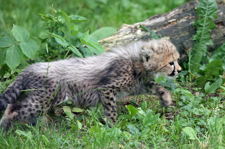 gepard: Little predator - hunting Cheetah cub