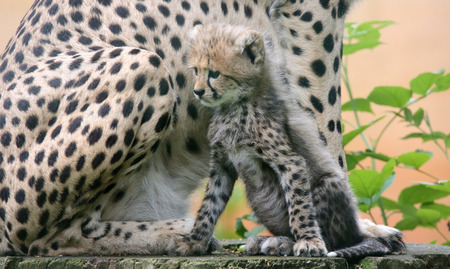 gepard: Close-up view of a Cheetah cub in front of his mother 02