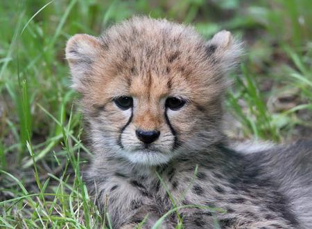 closeup view: Close-up view of a Cheetah cub 03