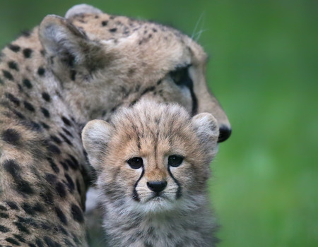 cheetah cub: Close-up view of a Cheetah cub in front of his mother 03
