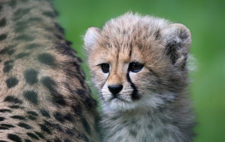 cheetah cub: Close-up view of a Cheetah cub 02