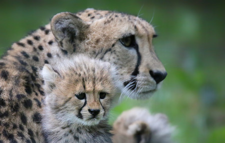 cheetah cub: Close-up view of a Cheetah cub in front of his mother 04 Stock Photo