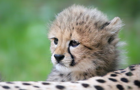 closeup view: Close-up view of a Cheetah cub