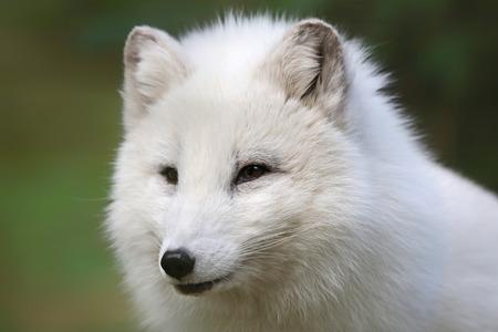 arctic fox: Arctic Fox - Vulpes lagopus - Close-up view Stock Photo
