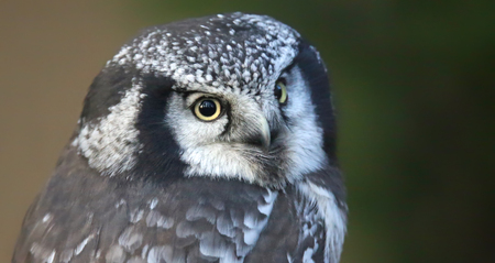 biotope: Close-up view of a Northern hawk-owl - Surnia ulula Stock Photo