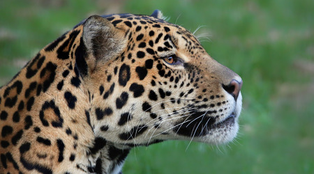 jaguar: Vista de primer plano de un Jaguar - Panthera onca