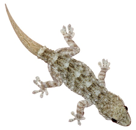lagarto: Gecko de la pared - Tarentola mauritanica, aislado en fondo blanco Foto de archivo