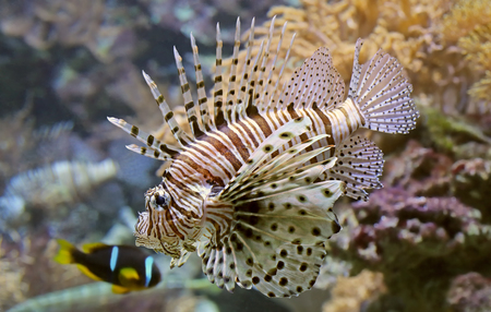 pterois volitans: Close-up view of a Red lionfish - Pterois volitans Stock Photo