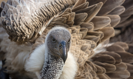 a large bird of prey: Close-up view of a White-backed vulture taking a bath
