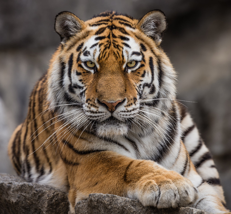 Close up view of a Siberian tiger - Panthera tigris altaica 写真素材