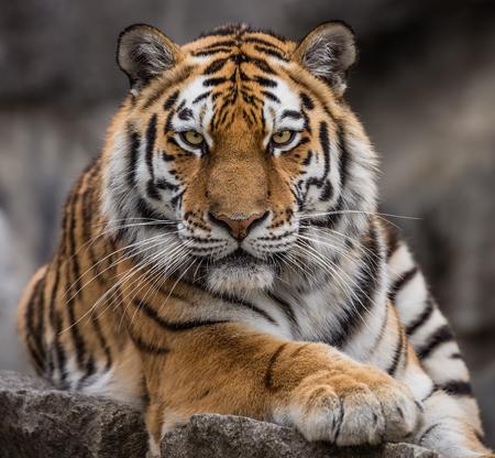 siberian tiger: Close up view of a Siberian tiger - Panthera tigris altaica Stock Photo