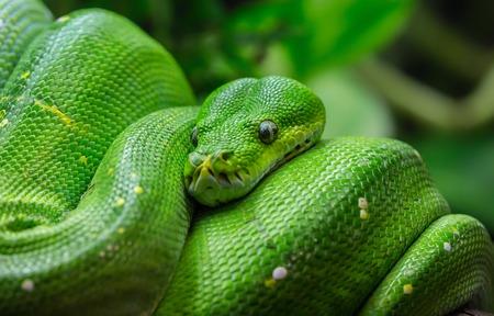 viridis: Close-up view of a green tree python - Morelia viridis