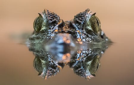 alligator eyes: Frontal view of a Spectacled Caiman - Caiman crocodilus