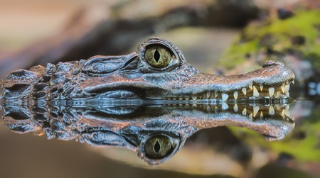 cold blooded: Close-up view of a Spectacled Caiman - Caiman crocodilus Stock Photo