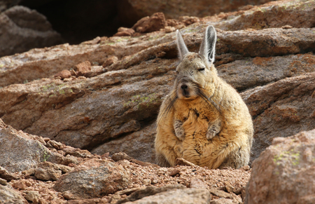 Siloli 사막 - 볼리비아의 남부 Viscacha