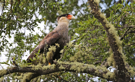 np: Southern crested caracara at Villarrica NP, Chile Stock Photo