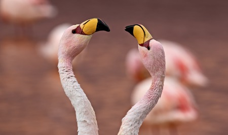 Pair of James Flamingo at Laguna Colorada - Bolivia