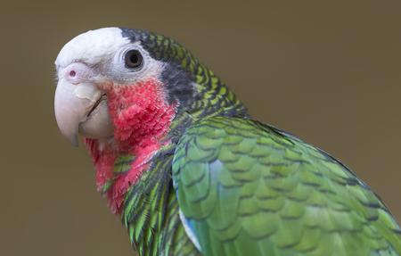 Close-up view of a cuban amazon - Amazona leucocephala Фото со стока