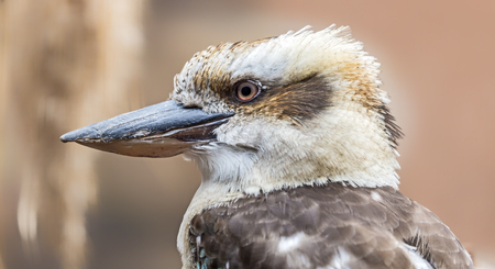 Close-up view of a Laughing kookaburra - Dacelo novaeguinea Фото со стока