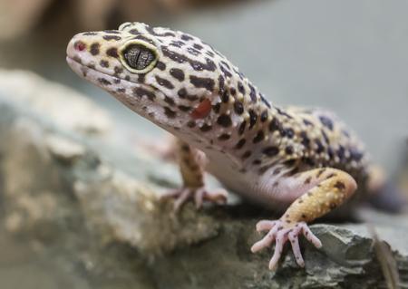 Close-up view of a leopard gecko - Eublepharis macularius