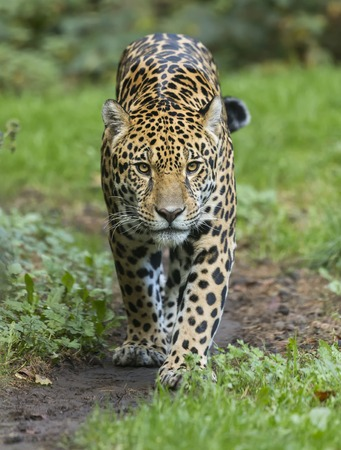 Jaguar front view - Panthera onca