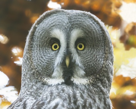 Close-up view of a Great Gray Owl - Strix nebulosa Stock Photo