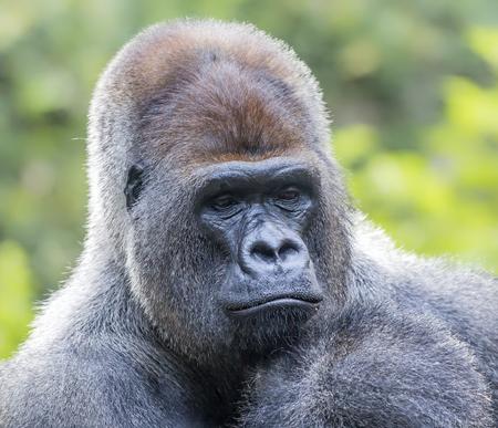 Close up of a male western gorilla