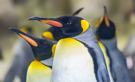 Close-up view of a King penguin - Aptenodytes patagonicus